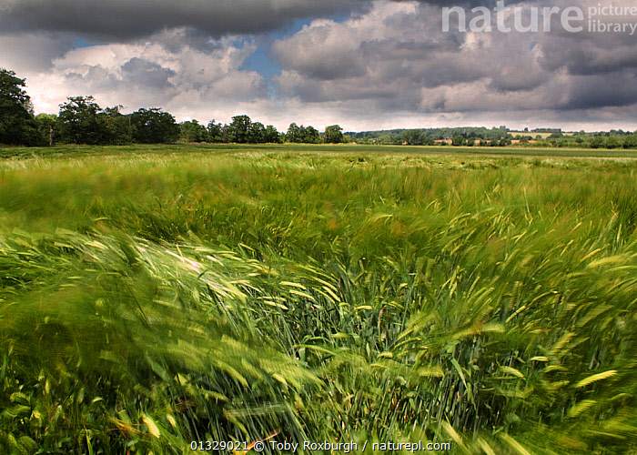Wind blowing over Wheat (Triticum genus) field in summer, England, July 2009.  ,  ATMOSPHERIC,BLUR,BLURRY,CEREALS,COUNTRYSIDE,CROPS,ENGLAND,EUROPE,FARMLAND,GRAMINEAE,GRASSES,LANDSCAPES,MONOCOTYLEDONS,MOVEMENT,PLANTS,POACEAE,TIME EXPOSURE,UK,WIND,United Kingdom,Weather  ,  Toby Roxburgh