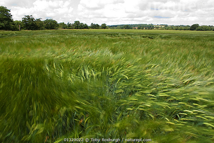 Wind blowing over Wheat (Triticum genus) field in summer, England, July 2009.  ,  BLUR,BLURRY,CEREALS,COUNTRYSIDE,CROPS,ENGLAND,EUROPE,FARMLAND,GRAMINEAE,GRASSES,LANDSCAPES,MONOCOTYLEDONS,MOVEMENT,PLANTS,POACEAE,TIME EXPOSURE,UK,WIND,United Kingdom,Weather  ,  Toby Roxburgh