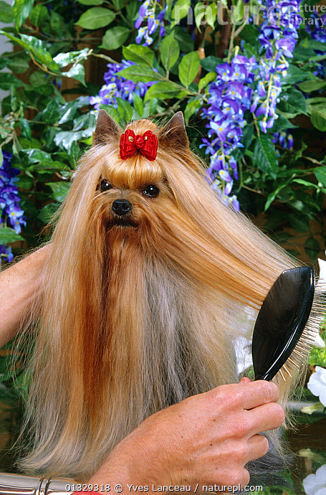 Nature Picture Library Domestic Dog Yorkshire Terrier