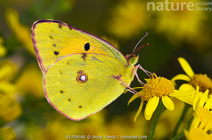 Clouded yellow butterfly (Colias crocea) perched on Ragwort flower. West Sussex, UK.  ,  ARTHROPODS,BUTTERFLIES,EUROPE,FLOWERS,INSECTS,INVERTEBRATES,LEPIDOPTERA,UK,WINGS,YELLOW,United Kingdom  ,  Andy Sands