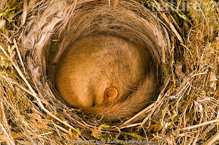 Dormouse (Muscardinus avellanarius) asleep in old Blackcap nest. Captive. UK, September.  ,  BEHAVIOUR,CIRCLE,CUTE,DORMICE,EARS,EUROPE,MAMMALS,MICE,NEST,RODENTS,SAFE,SLEEPING,UK,VERTEBRATES,WARM,WARMTH,United Kingdom,Muridae  ,  Andy Sands