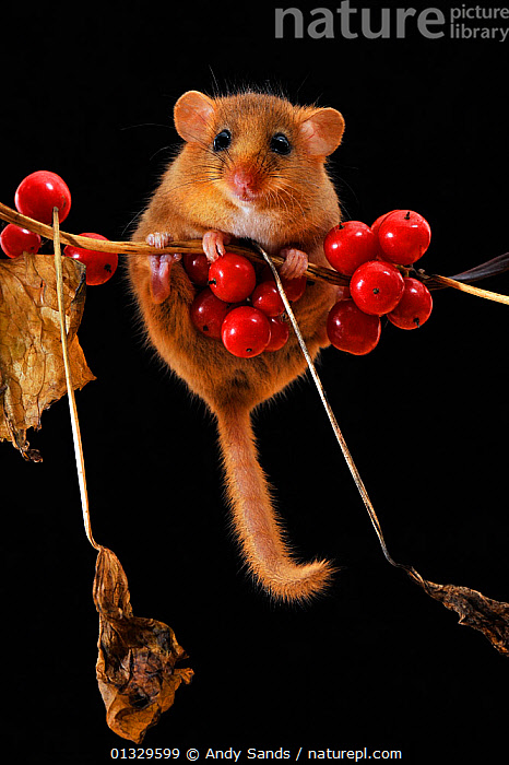 Dormouse (Muscardinus avellanarius) climbing among berries of Black Byrony. Captive. UK, September.  ,  BERRIES,BERRY,CUTE,DORMICE,EUROPE,FRUIT,HUMOROUS,MAMMALS,MICE,RODENTS,STUDIO,UK,VERTEBRATES,VERTICAL,Plants,Concepts,United Kingdom,Muridae  ,  Andy Sands