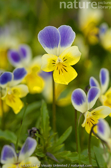 Wild Pansy (Viola tricolor) Hohe Tauern National Park, Austria.  ,  AUSTRIA,BEAUTY,COLOR,EUROPE,FLOWER,FLOWERS,FOCUS,HOHE,IMAGE,LARGE,MULTICOLORED,NATIONAL,NATURE,OBJECTS,OUTDOORS,PANSY,PARK,TAUERN,TRICOLOR,VERTICAL,VIOLA,WILD  ,  Visuals Unlimited