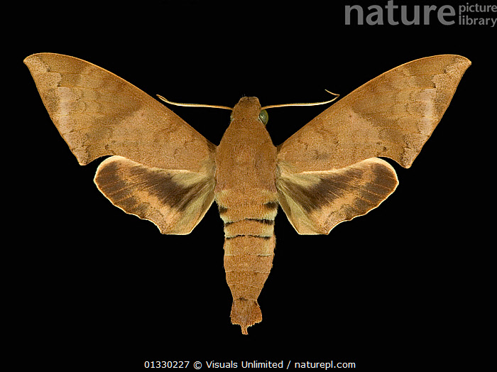 Adult stage of the Hawkmoth (Pachylioides resumens) Costa Rica.