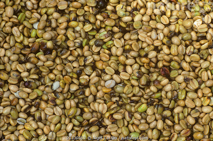 Coffee beans after grading, damaged by the Coffee berry borer (Hypothenemus hampei), Tanzania, AGRICULTURE,ARABICA,BACKGROUNDS,BEAN,BERRY,BORER,CLOSE,COFFEA,COFFEE,COLEOPTERA,COLOR,CROP,CROPS,DAMAGE,DICOTYLEDONS,DIRECTLY,EAST AFRICA,FRAME,HAMPEI,HARVEST,HORIZONTAL,HYPOTHENEMUS,IMAGE,INSECT,PATTERNS,PEST,PESTS,PLANTS,RUBIACEAE,SEED,TANZANIA, Visuals Unlimited