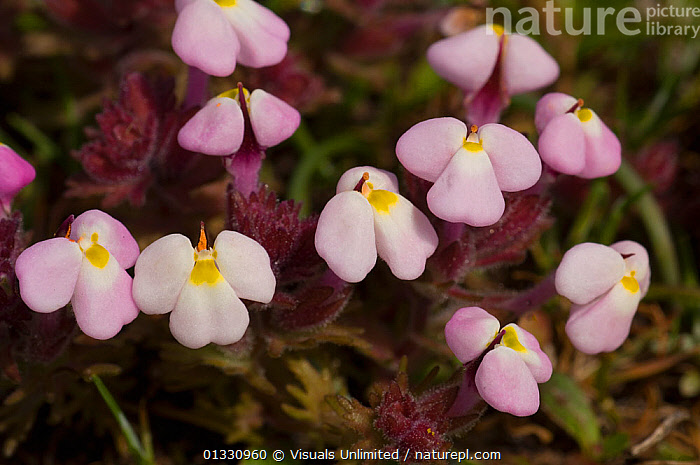 Johnny Tuck / Pink Butter' n' Eggs (Triphysaria eriantha rosea) endemic to California, USA, ANGLE,BUTTER,CALIFORNIA,EGGS,ERIANTHA,FLOWERS,HIGH,JOHNNY,MEDIUM,OBJECTS,OUTDOORS,PINK,PRETTY,ROSEA,TRIPHYSARIA,TUCK,USA,WHITE,YELLOW,North America, Visuals Unlimited
