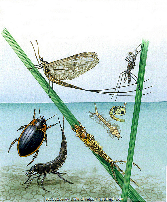 Illustration of Water beetle (Colymbetes fuscus),bottom left; Mayfly (Ephemeroptera sp.), centre; and Mosquito (Culicidae sp.) right; with larvae.  ,  EPHEMEROPTERA,EUROPE,FRESHWATER,ILLUSTRATIONS,INSECTS,INVERTEBRATES,LARVAE,MAYFLIES,MIXED SPECIES,POND,PONDLIFE,UK,VERTICAL,United Kingdom  ,  Chris Shields
