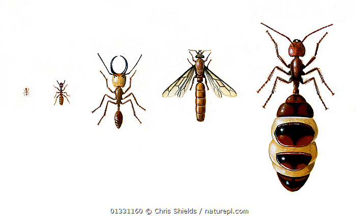 Illustration of Termites (Isoptera),different castes within a colony. (L-R) Workers,soldier, winged and queen termites.  ,  ARTHROPODS,CASTES,CUTOUT,ILLUSTRATIONS,INSECTS,INVERTEBRATES,ISOPTERA,QUEENS,TERMITES  ,  Chris Shields