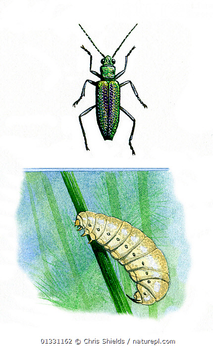 Illustration of Leaf beetle (family Chrysomelidae),top,with freshwater larva, bottom .  ,  BEETLES,COLEOPTERA,CUTOUT,ILLUSTRATIONS,INSECTS,INVERTEBRATES,LEAF BEETLES  ,  Chris Shields