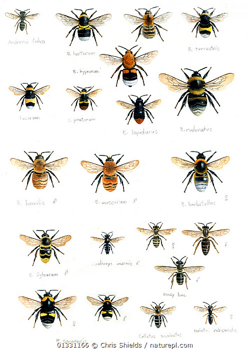 Illustration of British bumblebees (Bombus sp): (Across rows) Adrena fulva,Bombus hypnorum,B. terrestris,B. lacornum,B. pratorum,B. lapidarus,B. ruderatus,B. humilis,B. muscorum,B. barbutellus,B. sylvarum,Coelioxys inermis,Apis mellifera,Barbus soroensis,Colletes succinctus, Halictus rubicundus.  ,  Adrena fulva,APIS MELLIFERA,ARTHROPODS,assortment,B barbutellus,B humilis,B lacornum,B lapidarus,B muscorum ,B pratorum,B ruderatus,B sylvarum,B terrestris,Barbus soroensis,BEES,Bombus hypnorum,BUMBLEBEES,catalogue3,close up,CLOSE UPS,Colletes succinctus,CUTOUT,GROUPS,Halictus rubicundus,HYMENOPTERA,illustration,ILLUSTRATIONS,INSECTS,INVERTEBRATES,large group,large group of animals,Nobody,oelioxys inermis,one animal,RESEARCH,sceintific,specimens,studio shot,UK,VERTICAL,white background,WILDLIFE,Europe,United Kingdom ,honeybee,honeybees  ,  Chris Shields