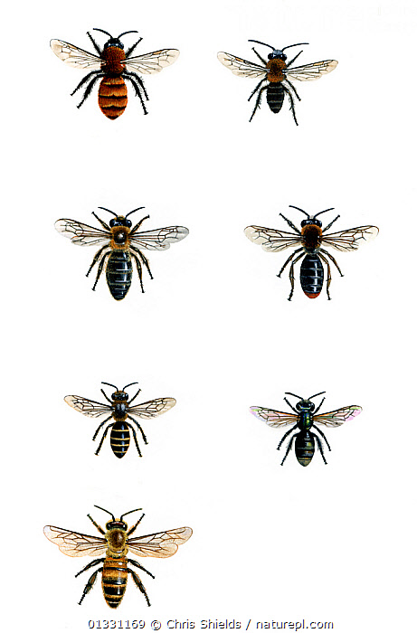 Illustration of British bees. Clockwise from top left: Tawny mining bee (Andrena fulva) (female),Tawny mining bee (Andrena fulva) (male),Early mining bee (Andrena haemorrhoa),Brassy mining bee (Lassioglossum morio),Honey bee (Apis mellifora),Lasioglossum calceatum, Andrena scotica.  ,  BEES,CUTOUT,HYMENOPTERA,ILLUSTRATIONS,INSECTS,INVERTEBRATES,UK,VERTICAL,Europe,United Kingdom  ,  Chris Shields
