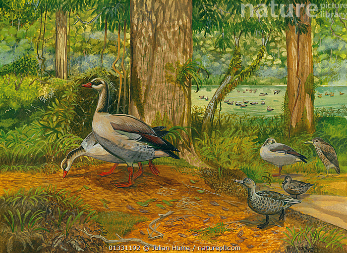 Illustration of extinct birds from Mauritius. Mauritian sheldgeese (Alopochen mauritianus ) (left) (extinct 1690) feed in a lakeside forest with Mascarene teal (Anas theodori) (bottom right) (extinct 1690) and Mauritian night heron (Nycticorax mauritianus) (centre right) (extinct 1690).  ,  ASIA,BIRDS,EXTINCT,FORESTS,GROUPS,ILLUSTRATIONS,MAURITIUS,MIXED SPECIES,PAINTING  ,  Julian Hume