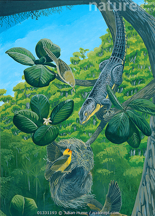 Illustration of Lienard's giant day-gecko (Phelsuma gigas) (extinct 1841) raids a Rodrigues fody (Foudia flavicans) (endangered/threatened species),nest,which hangs from a bough of Scyphochlamys revoluta. A Rodrigues warbler (Acrocephalus rodericanus ) (centre top) (endangered/threatened species),and Rodrigues merle (Hypsipetes sp.) (bottom); Island of Rodrigues (Rodriguez),a dependency of Mauritius, in the Indian Ocean.  ,  ASIA,BIRDS,EXTINCT,ILLUSTRATIONS,MAURITIUS,MIXED SPECIES,PAINTING,REPTILES,VERTICAL,WARBLERS  ,  Julian Hume