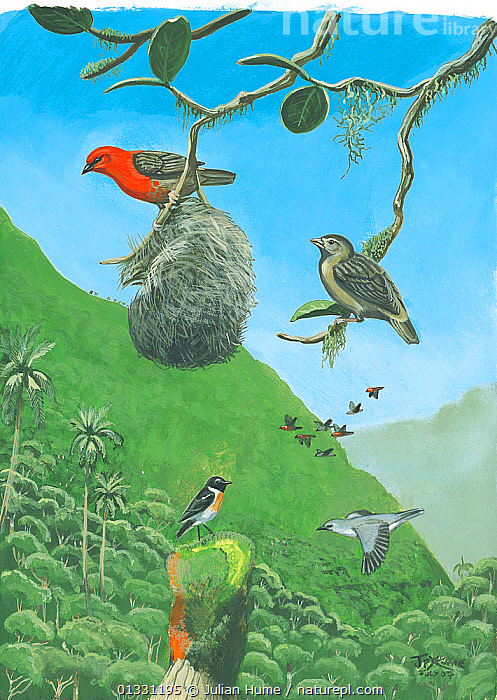 Illustration of extinct and extant birds,Reunion Island,Indian Ocean. Reunion fody (Foudia delloni), male (top right) female (top left) (extinct 1674); with Reunion stonechat (Saxicola tectes) (bottom left) and Reunion cuckoo-shrike (Coracina newtoni) (bottom right) - critically endangered.  ,  BIRDS,ENDANGERED,EXTINCT,FODIES,ILLUSTRATIONS,MIXED SPECIES,PAINTING,REUNION,SHRIKES,VERTICAL,WEAVER BIRDS  ,  Julian Hume
