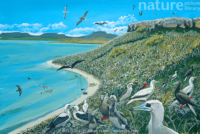 Illustration of nesting seabirds and other species,Ile Fregate,Rodrigues. Dugongs (Dugong dugon) (endangered/threatened species) once thrived in lagoons on Ile Fregate,while seabirds breed in huge numbers on the islet. Blue-footed booby (Sula nebouxii); red-footed booby (Sula sula); frigatebird (Fregata sp); island of Rodrigues (Rodriguez),a dependency of Mauritius, in the Indian Ocean.  ,  ASIA,BREEDING,DUGONGS,ENDANGERED,FLOCKS,HABITAT,ILLUSTRATIONS,ISLANDS,MANATEES,MAURITIUS,MIXED SPECIES,NESTING,PAINTING,SEAS,TORTOISES  ,  Julian Hume