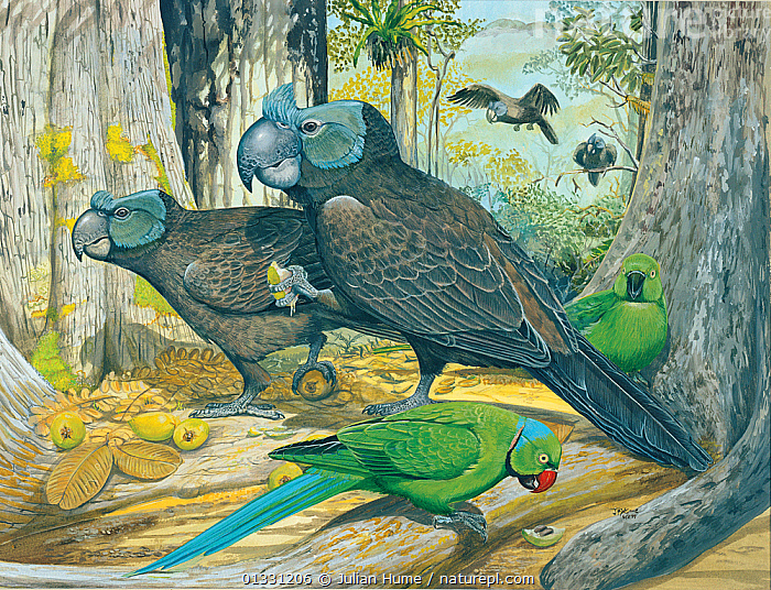 Nature Picture Library - Illustration of Broad billed parrot / Raven
