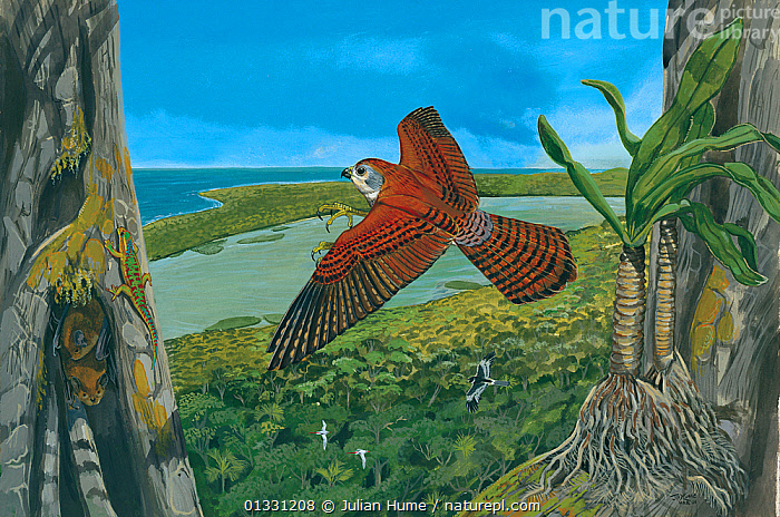 Illustration of Dubois's kestrel (Falco duboisi) - extinct 1674 - hunting a Manapany day gecko (Phelsuma inexpectata) (left,on trunk),while grey tomb bats (Taphozous mauritianus) (left,below) roost in a tree cavity; white-tailed tropicbirds (Phaethon lepturus) (centre left) and a Reunion harrier (Circus maillardi ) (centre right). The palm orchid (Angraecum palmatum) (right) has not been seen since the 1980s and may well be extinct. Reu, Indian Ocean.  ,  ASIA,BATS,BEHAVIOUR,BIRDS,GROUPS,HABITAT,HUNTING,ILLUSTRATIONS,ISLANDS,MAURITIUS,MIXED SPECIES,PAINTING,PREDATION,REPTILES  ,  Julian Hume
