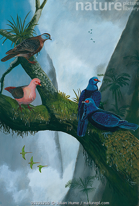Illustration of Reunion's pigeons in a gorge above St Louis, Mauritius. Malagasy / Madagascar turtle dove (Nesoenas picturata) (top left - extant); Reunion pink pigeon (Nesoenas duboisi) (centre left) - extinct 1674; and slaty pigeon (Alectroenas sp) - extinct 1674 (centre right).  ,  ASIA,BIRDS,ENDANGERED,EXTINCT,FLOCKS,GROUPS,HABITAT,ILLUSTRATIONS,MAURITIUS,MIXED SPECIES,PAINTING,VERTICAL  ,  Julian Hume