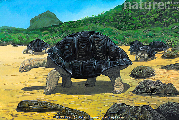 Illustration of Mauritius domed giant tortoise (Cylindraspis inepta) - extinct 1720. Mauritius,Mascarenes, Indian Ocean.  ,  EXTINCT,GROUPS,HABITAT,ILLUSTRATIONS,ISLANDS,MAURITIUS,PAINTING,REPTILES,TORTOISES,VERTEBRATES  ,  Julian Hume
