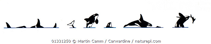 Illustration of Killer whale / Orca (Orcinus orca) breach sequence in profile, playing with prey