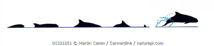 Illustration of Melon-headed whale (Peponocephala electra) breach and dive sequence in profile (Wildlife Art Company).  ,  AQUATIC,BEHAVIOUR,BREACHING,CETACEANS,CUTOUT,DOLPHINS,ILLUSTRATIONS,JUMPING,MAMMALS,MARINE,PROFILE,SEQUENCE,SURFACE,VERTEBRATES  ,  Martin Camm / Carwardine