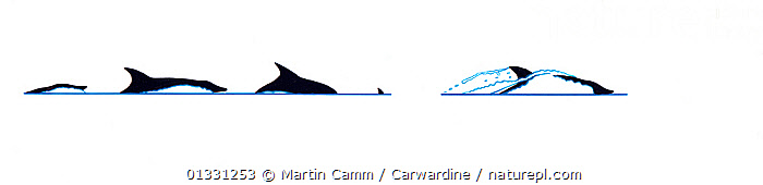 Illustration of Rough-toothed dolphin (Steno bredanensis), dive sequence in profile (Wildlife Art Company).  ,  AQUATIC,BEHAVIOUR,BREACHING,CETACEANS,CUTOUT,DOLPHINS,ILLUSTRATIONS,JUMPING,MAMMALS,MARINE,PROFILE,SEQUENCE,SURFACE,VERTEBRATES  ,  Martin Camm / Carwardine