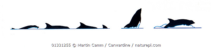 Illustration of White-beaked dolphin (Lagenorhynchus albirostris) dive and breach sequence in profile (Wildlife Art Company).  ,  AQUATIC,BEHAVIOUR,BREACHING,CETACEAN,CETACEANS,CUTOUT,DOLPHINS,ILLUSTRATIONS,JUMPING,MAMMALS,MARINE,PROFILE,SEQUENCE,SURFACE,VERTEBRATES  ,  Martin Camm / Carwardine
