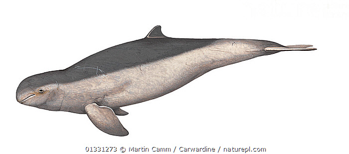 Illustration of Irrawaddy dolphin (Orcaella brevirostris), Delphinidae - endangered (Wildlife Art Company).  ,  AQUATIC,CETACEANS,CUTOUT,DOLPHINS,ENDANGERED,ILLUSTRATIONS,MAMMALS,MARINE,PROFILE,VERTEBRATES  ,  Martin Camm / Carwardine