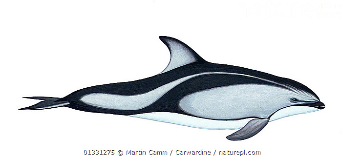 Illustration of Pacific white-sided dolphin / Lag (Lagenorhynchus obliquidens), Delphinidae (Wildlife Art Company).  ,  animal marking,catalogue3,CETACEANS,close up,CLOSE UPS,CUTOUT,Delphinidae,DOLPHIN,full length,illustration,ILLUSTRATIONS,MAMMALS,MARINE,Nobody,one animal,panoramic image,PROFILE,SEALIFE,side view,studio shot,VERTEBRATES,white background,WILDLIFE,Dolphins  ,  Martin Camm / Carwardine