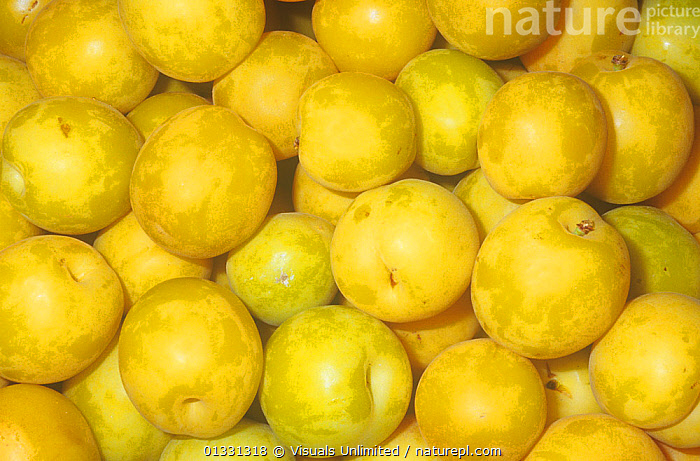 Apriums, a 3/4 Apricot and a 1/4 Plum hybrid cross. These fruits are noted for their sweetness.  ,  AGRICULTURE,APRICOT,APRIUM,BACKGROUNDS,CLOSE,CROP,CROPS,CROSS,EATING,FRAME,FRUIT,GENETIC,GROUPS,HARVEST,HEALTHY,HYBRID,LARGE,OBJECTS,PATTERNS,PLUM,ROUND,SHOT,STUDIO,VEGETABLE,VEGETABLES,YELLOW,Plants  ,  Visuals Unlimited