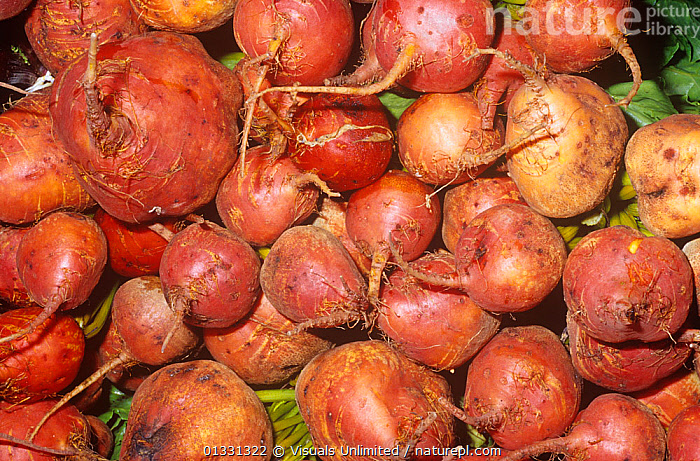Golden Beets (Beta vulgaris)  ,  AGRICULTURE,BACKGROUNDS,BEET,BETA,CLOSE,CROP,CROPS,DIRECTLY,EATING,GOLDEN,GROUPS,HARVEST,HEALTHY,LARGE,OBJECTS,PATTERNS,ROOT,SHOT,STUDIO,VEGETABLE,VEGETABLES,VULGARIS  ,  Visuals Unlimited