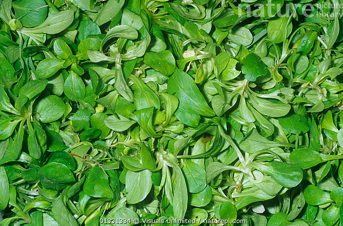 Corn Salad / Mache / Lamb's Lettuce (Valerianella locusta) from Europe, Asia Minor.  ,  CLOSE,CORN,CROPS,EATING,FRAME,GROUPS,HEALTHY,LAMB'S,LARGE,LETTUCE,LOCUSTA,MACHE,OBJECTS,PATTERNS,SALAD,SHOT,STUDIO,VALERIANELLA,VEGETABLE,VEGETABLES  ,  Visuals Unlimited