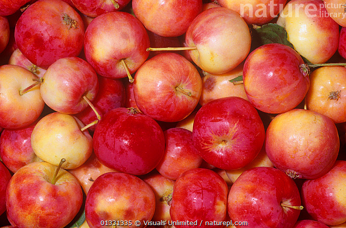 Crab apples (Malus sp)  ,  AGRICULTURE,APPLE,BACKGROUNDS,CRABAPPLE,CROPS,DIRECTLY,FOOD,FRAME,FRUIT,GROUPS,MALUS,PATTERN,PATTERNS,RED,SHOT,STUDIO,Plants  ,  Visuals Unlimited
