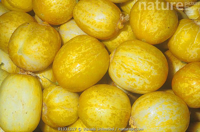 Cucumber variety Lemon (Cucumis sativus) from India, Tropical Asia.  ,  CLOSE,CROPS,CUCUMBER,CUCUMIS,EATING,FRAME,FRUIT,GROUPS,HEALTHY,LARGE,LEMONS,OBJECTS,PATTERNS,SATIVUS,SHOT,STUDIO,Plants  ,  Visuals Unlimited