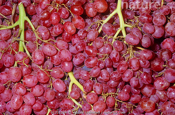 Nature Picture Library - Grapes (Vitis sp) variety Red