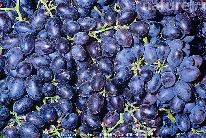 Grapes (Vitis sp) black seedless variety  ,  CLOSE,CROPS,DIRECTLY,EATING,FRAME,FRUIT,GRAPE,GROUPS,HEALTHY,LARGE,OBJECTS,PATTERNS,SEEDLESS,SHOT,STUDIO,VITIS,Plants  ,  Visuals Unlimited