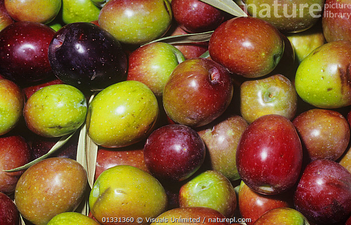 Olive variety Sevillano (Olea europaea) from Mediterranean Region.  ,  CLOSE,CROPS,DIRECTLY,EATING,EUROPAEA,FRAME,FRUIT,GROUPS,HEALTHY,LARGE,OBJECTS,OLEA,OLIVE,OLIVES,PATTERNS,SEED,SEVILLANO,SHOT,STUDIO,VEGETABLE,VEGETABLES,Plants  ,  Visuals Unlimited