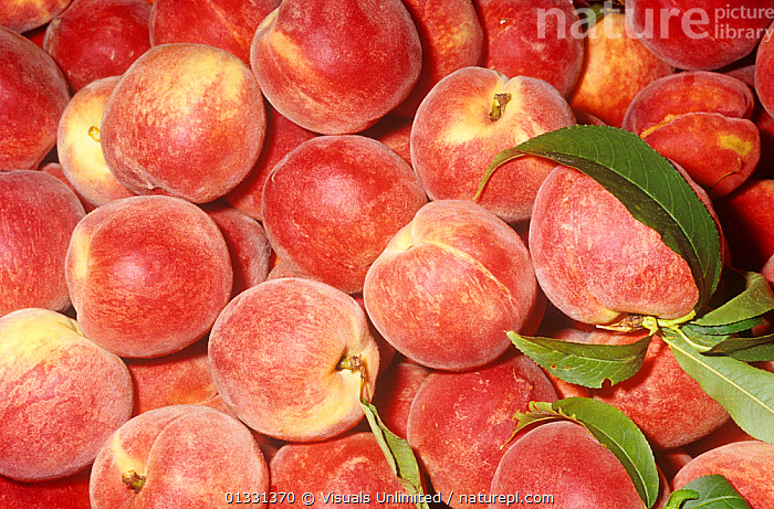 Peach, Yellow variety Early Treat (Prunus persica)  ,  CLOSE,CROPS,DIRECTLY,EATING,FRAME,FRUIT,GROUPS,HEALTHY,LARGE,OBJECTS,PATTERNS,PEACH,PEACHES,PERSICA,PRUNUS,SHOT,STUDIO,TREAT,Plants  ,  Visuals Unlimited