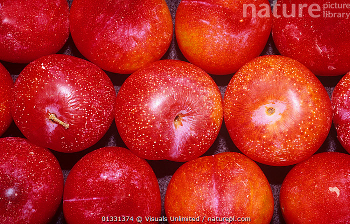 Red Plumcots, a 50/50 hybrid between an Apricot and a Plum that was developed by Luther Burbank.  ,  BURBANK,CLOSE,CROPS,CROSS,DIRECTLY,EATING,FRAME,FRUIT,GENETIC,GROUPS,HEALTHY,HYBRID,LARGE,LUTHER,OBJECTS,PATTERNS,PLUMCOT,PLUMS,RED,SHOT,STUDIO,Plants  ,  Visuals Unlimited