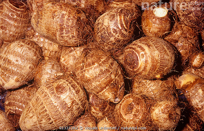 Taro, Elephant Ear, or Coco Yam corms (Colocasia esculenta)  ,  CLOSE,COCO,COLOCASIA,CORM,CROPS,DIRECTLY,EAR,EATING,ELEPHANT,ESCULENTA,GROUPS,HEALTHY,LARGE,OBJECTS,PATTERNS,PLANTS,POI,ROOT,SHOT,STUDIO,TARO,VEGETABLE,VEGETABLES,YAM,YAMS  ,  Visuals Unlimited