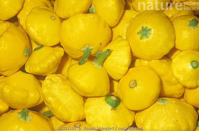 Summer Squash / Patty Pan variety Sunburst (Cucurbita pepo)  ,  CLOSE,CROPS,CUCURBITA,DIRECTLY,EATING,FRAME,FRUIT,GROUPS,HEALTHY,LARGE,OBJECTS,PAN,PATTERNS,PATTY,PEPO,PLANTS,SHOT,SQUASH,STUDIO,SUMMER,SUNBURST,VEGETABLE,VEGETABLES,YELLOW  ,  Visuals Unlimited