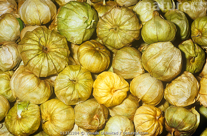 Tomatillos / Mexican Green Tomatoes (Physalis ixocarpa) from Central America.  ,  CLOSE,CROPS,DIRECTLY,EATING,FRAME,FRUIT,GREEN,GROUPS,HEALTHY,IXOCARPA,LARGE,MEXICAN,OBJECTS,PATTERNS,PHYSALIS,SHOT,STUDIO,TOMATILLO,TOMATO,VEGETABLE,VEGETABLES,Plants  ,  Visuals Unlimited
