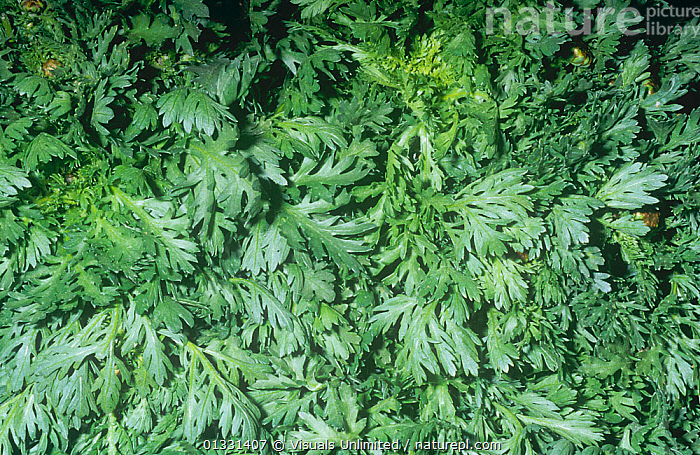 Garland Chrysanthemum / Shungiku salad greens (Chrysanthemum coronarium)  ,  CHRYSANTHEMUM,CLOSE,CORONARIUM,CROPS,DIRECTLY,EATING,FRAME,GARLAND,GROUPS,HEALTHY,LARGE,LEAF,OBJECTS,PATTERNS,PLANTS,SHOT,SHUNGIKU,STUDIO,VEGETABLE,VEGETABLES  ,  Visuals Unlimited