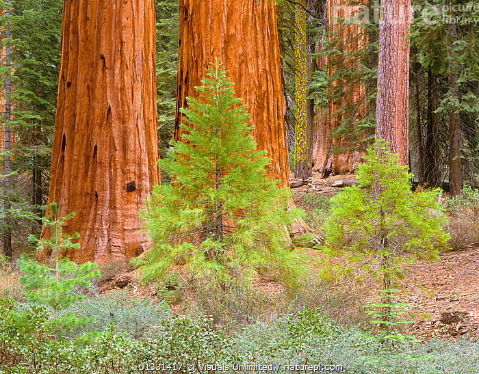 Young and old Giant Sequoia trees (Sequoiadendron giganteum) Mariposa Grove, Yosemite National Park, California, USA.  ,  CALIFORNIA,DESTINATION,FOREST,FOUR,GIANT,GIGANTEUM,GROVE,GROWTH,LANDMARK,MARIPOSA,NATIONAL,OBJECTS,OUTDOORS,PARK,REDWOOD,SCALE,SEQUOIA,SEQUOIADENDRON,TOURISM,TRAVEL,TREE,TRUNKS,USA,VACATION,YOSEMITE,Concepts,North America  ,  Visuals Unlimited