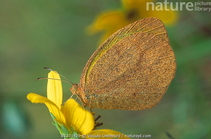Fairy Yellow butterfly (Eurema daira), Florida, USA.  ,  ANIMAL,ANIMALS,BARRED,BUTTERFLIES,BUTTERFLY,CLOSE,DAIRA,EUREMA,FAIRY,FLORIDA,FLOWER,INSECTS,INVERTEBRATES,LEPIDOPTERA,NATURAL,ONE,OUTDOORS,PIERIDAE,SULPHUR,USA,WILD,WILDLIFE,YELLOW,North America  ,  Visuals Unlimited