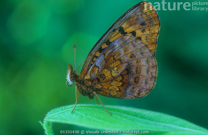 Meadow Fritillary butterfly (Boloria sp), Ohio, USA.  ,  ANIMAL,ANIMALS,BOLORIA,BUTTERFLIES,BUTTERFLY,FRITILLARY,INSECTS,INVERTEBRATES,LEPIDOPTERA,MEADOW,NATURAL,OHIO,ONE,OUTDOORS,USA,WILD,WILDLIFE,North America  ,  Visuals Unlimited