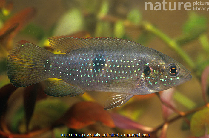 Spotted tilapia (Tilapia mariae), an introduced species in Florida, USA.  ,  ANIMAL,ANIMALS,CICHLIDS,CLOSE,FISH,FLORIDA,FRESHWATER,INTRODUCED,MARIAE,NATURAL,ONE,OSTEICHTHYES,OUTDOORS,SPECIES,SPOTTED,TILAPIA,TROPICAL,UNDERWATER,USA,VERTEBRATES,WILD,WILDLIFE,North America  ,  Visuals Unlimited