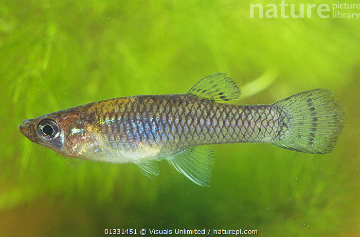 Eastern Mosquito fish (Gambusia holbrooki), Florida, USA.  ,  ANIMAL,ANIMALS,CLOSE,EASTERN,FIN,FISH,FLORIDA,FRESHWATER,GAMBUSIA,GILL,HOLBROOKI,MARINE,MOSQUITO,NATURAL,ONE,OSTEICHTHYES,OUTDOORS,SCALE,SLIT,TEMPERATE,UNDERWATER,USA,VERTEBRATES,WILD,WILDLIFE,North America  ,  Visuals Unlimited