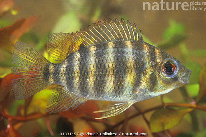 Striped tilapia (Tilapia mossambique), an introduced species in Florida, USA.  ,  animal, CICHLIDS, close, fin, FISH, Florida, FRESHWATER, gill, introduced, mossambique, one, OSTEICHTHYES, SCALE, slit, species, STRIPED, Tilapia, TROPICAL, UNDERWATER, USA, VERTEBRATES,North America  ,  Visuals Unlimited