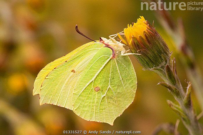 Brimstone butterfly (Goneopteryx rhamni) male on Coltsfoot flower in spring, UK, Captive, March  ,  BUTTERFLIES,EUROPE,FEEDING,FLOWERS,INSECTS,INVERTEBRATES,LEPIDOPTERA,PIERIDAE,SPRING,UK,YELLOW,United Kingdom  ,  Andy Sands
